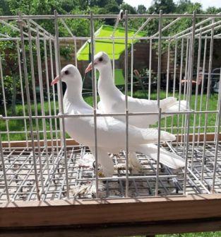 Gołębie bociany (para)
