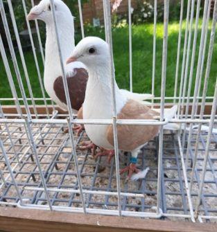 Gołębie Śląskie Tarczowe