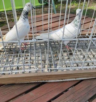 Gołębie Budapeszty (para)