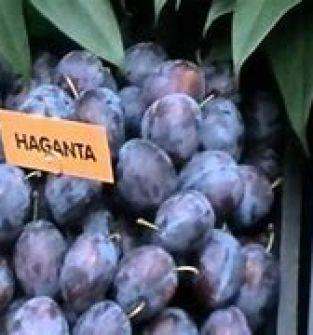 Śliwka odmiana  Haganta
