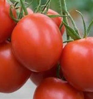 Pomidor - odmiana Polfast