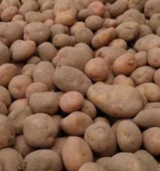 Sadzeniaki ziemniak IRGA
