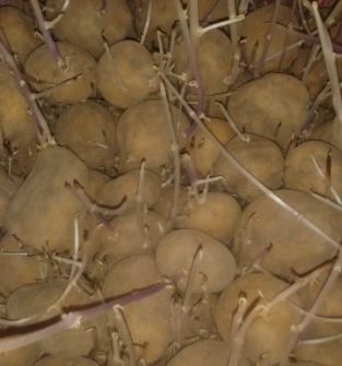 Ziemniak sadzeniak