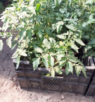 Pomidor szklarniowy i gruntowy