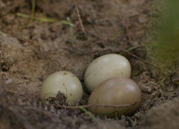 Jaja bażantów : polnych