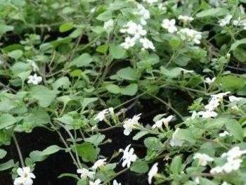 Bacopa (Bacopa) - kwiaty z gospodarstwa ogrodniczego