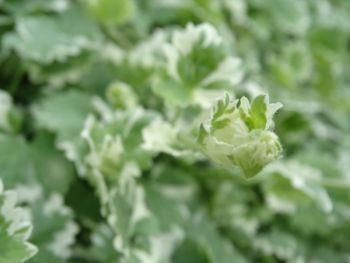 Glechoma / Bluszczyk kurdybanek (Glechoma hederacea)