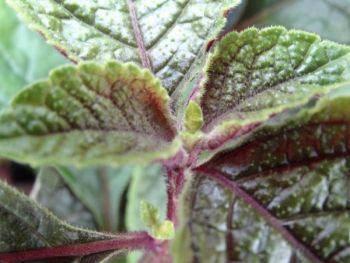 """Plektrantus """"Nico"""" - czerwony liść (Plektrantus Nico)"""