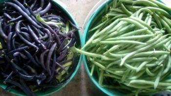 Fasolka szparagowa fioletowa i zielona