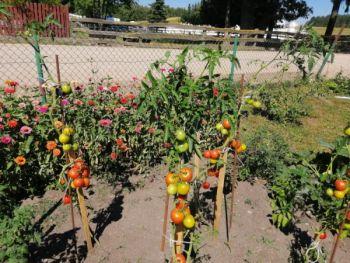 Pomidory gruntowe