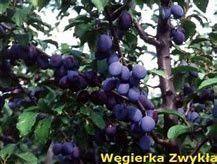Śliwka odmiana Węgierka zwykła