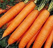 Marchew korzeniowa odmiany holenderskiej