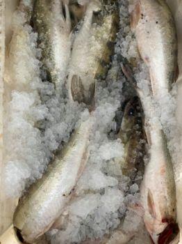 Ryby: sandacz, leszcz, dorsz, śledź