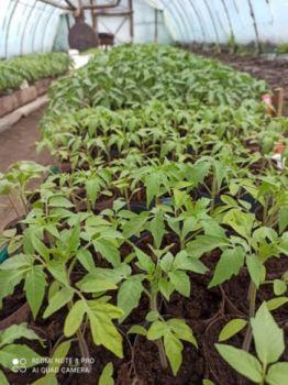 Sadzonki pomidora  -duży wybór