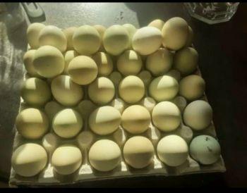 Zielone jajka od kur czubatek