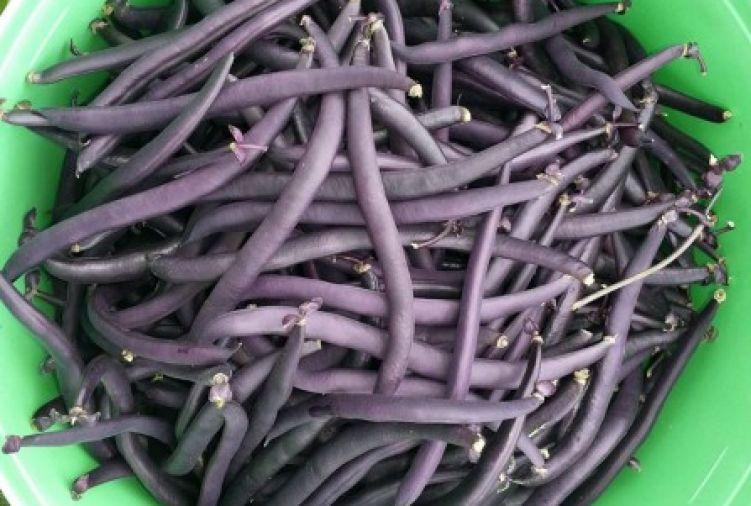 Fasolka szparagowa fioletowa
