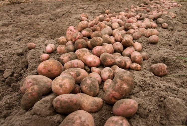 Ziemniaki Bellarosa czerwone